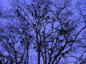 sycamore-tree-full-of-vultures.jpg